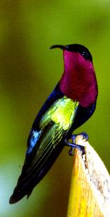 Colibri fal wouj